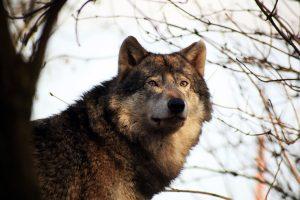 Ein wanderlustiger Problemwolf versteckt sich in Deutschland im Funkloch und entzieht sich damit der Nachstellung.